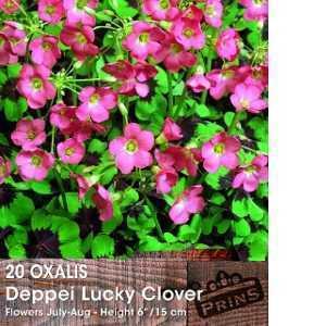 Oxalis Deppei Lucky Clover / Good Luck Shamrock Bulbs 20 Per Pack