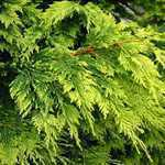 Leylandii Castlewellan Gold Cypressocyparis (Hedging) Conifer 100-135cm 5Ltr