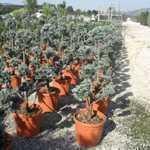 Cedrus Libani Glauca (Cedar of Lebanon) Pom Pom 110-120cm  30Ltr