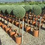 Cupressus Arizonica Fastigiata (Blue Arizona Cypress) 1/2 Standard 25Ltr