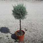 Cupressus Arizonica Fastigiata (Blue Arizona Cypress) 1/4 Standard 7Ltr