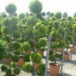 Cupressus Macrocarpa Goldcrest- Pom Pom 160-180cm 18.5Ltr