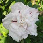 Hibiscus Syriacus China Chiffon (Rose of Sharon)