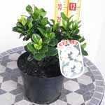Gardenia Jasminoides Kleims Hardy 3Ltr
