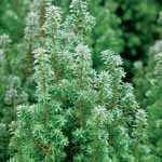 Chamaecyparis Thyoides Top Point (Atlantic White Cedar) 20cm 1Ltr