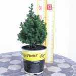 Chamaecyparis Thyoides 'Top Point' (Atlantic White Cedar)