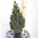 Picea Glauca Conica (Mini Christmas Tree) Dwarf Alberta Spruce