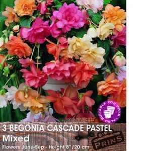 Begonia Cascade Pastel Mixed Bulbs 3 Per Pack