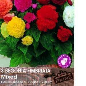 Begonia Fimbriata Mixed Bulbs 8 Per Pack