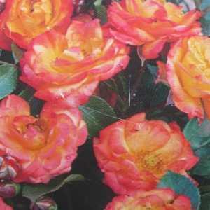 Rumba Floribunda Rose