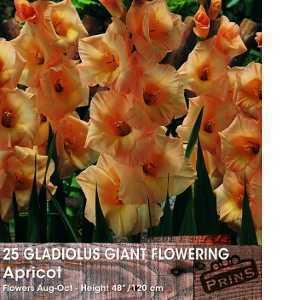 Gladioli (Gladiolus) Giant Flowering Apricot Bulbs 25 Per Pack
