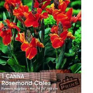 Canna Rosemond Coles Bulb 1 Per Pack