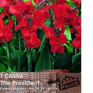 Canna The President Bulb 1 Per Pack