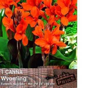 Canna Wyoming Bulb 1 Per Pack