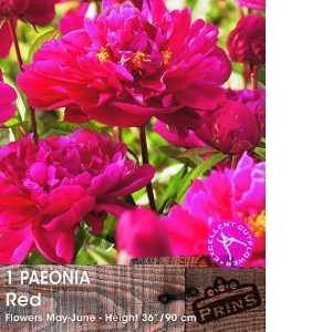 Paeonia (Peony) Red Bulbs 1 Per Pack