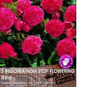 Begonia Non Stop Flowering Red Bulbs 3 Per Pack