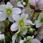 Helleborus Nigercors Emma (Christmas Rose) 2Ltr
