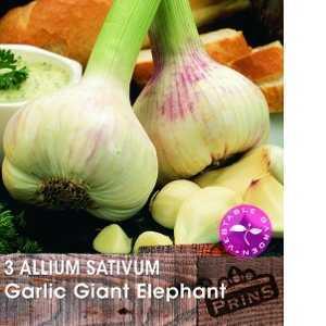 Garlic Giant Elephant (Allium Sativum) Cloves 3 Per Pack