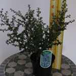 Ceanothus Puget Blue (Californian Lilac)