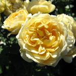 Rose Patio Sweet Memories (Whamemo) Pale Yellow 4Ltr
