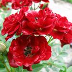 Rose Patio/Miniature Peter Pan (Chewpan) Red 4Ltr