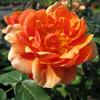 Rose Patio/Miniature Ginger Nut Bronze/Orange 4Ltr