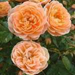 Rose Patio/Miniature Sweet Dream (Frymincot) Peach/Apricot 4Ltr