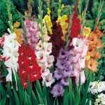 Gladioli (Gladiolus) Garden Mixture Bulbs 25 Per Pack
