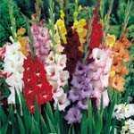 Gladioli (Gladiolus) Garden Mixture Bulbs 25 Per Pack