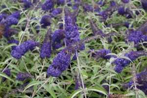 Cheap Buddleia Adonis Blue Buy Butterfly Bushes Cheap