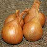 Shallots Yellow Golden Gourmet Bulbs 25 Per Pack