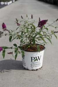Buddleia Davidii Miss Ruby (Buddleja) Butterfly Bush