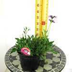 Osteospermum In The Pink (Launching at Chelsea Flower Show 2012) 2-3Ltr