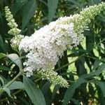 Buddleia Davidii White Profusion Buddleja (Butterfly Bush) 10Ltr