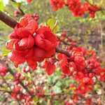 Chaenomeles Superba Clementine (Flowering Quince) 3.5Ltr