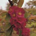 Chaenomeles Superba Fascination (Flowering Quince) 3.5Ltr