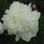 Peony (Paeonia) Suffruticosa Chinese Tree Peony Bing Shan 6 Litre Pot