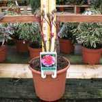 Peony Paeonia Suffruticosa Chinese Tree Peony Dao Jin 6 Litre Pot