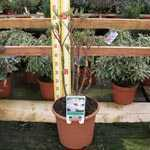 Peony Paeonia Suffruticosa Chinese Tree Peony Feng Dan Bai 6 Litre Pot