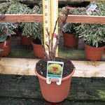 Peony (Paeonia) Suffruticosa Chinese Tree Peony Hai Huang 6 Litre Pot