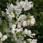 Exochorda Racemosa Niagara (Pearl Bush) 10Ltr