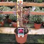 Peony Paeonia Suffruitcosa 'Hu Hong' 9 Litre Pot