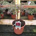 Peony (Paeonia) Suffruticosa Wu Jin Yao Hui Chinese Tree Peony
