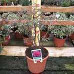 Peony (Paeonia) Suffruticosa Chinese Tree Peony Wu Long Peng Sheng