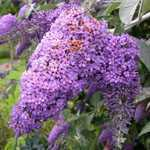 Buddleia Davidii Lochinch (Butterfly Bush)