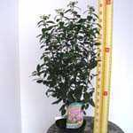 Ceanothus x Pallidus Marie Rose 'Minmarose' (Calafornian Lilac) 3.5Ltr