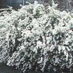 Spiraea Vanhouttei (Bridal Wreath)