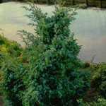 Juniperus Chinensis Blue Alps (Chinese Juniper) 50-60cm 7.5Ltr
