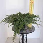 Juniperus (Juniper) Conferta Schlager 40-50cm 9Ltr