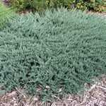 Juniperus Horizontalis Blue Chip (Creeping Blue Juniper) 40cm 7.5Ltr